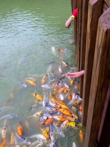 Feeding the koi at Dinosaur World