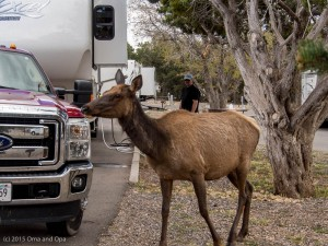 The Elk inspected our set-up when we arrived