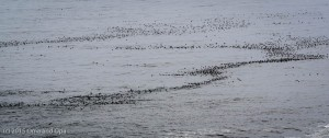 There were hundreds of common murres on the water
