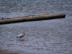 Herons and other waterfowl were frequent visitors, especially at lower tide levels