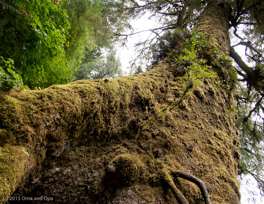 A 600 year-old Giant Sitka Spruce in Cape Perpetua