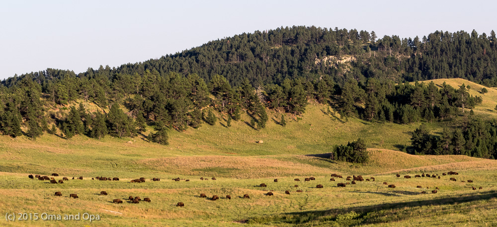 Large groups of buffalo roam Custer State Park