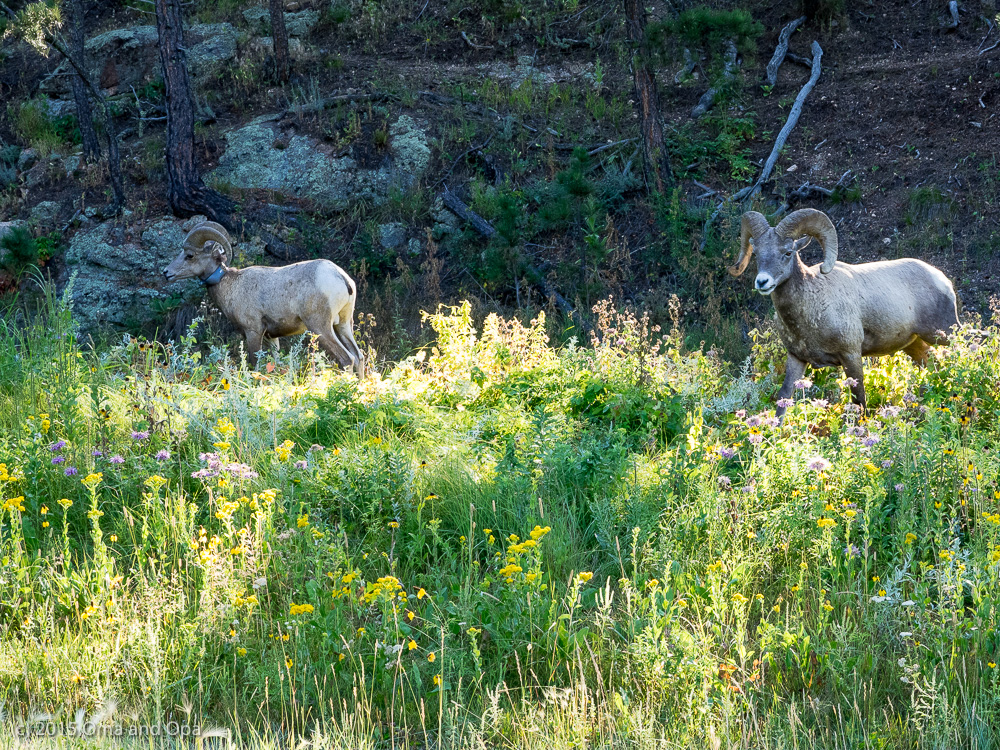 Big-horn sheep at last!