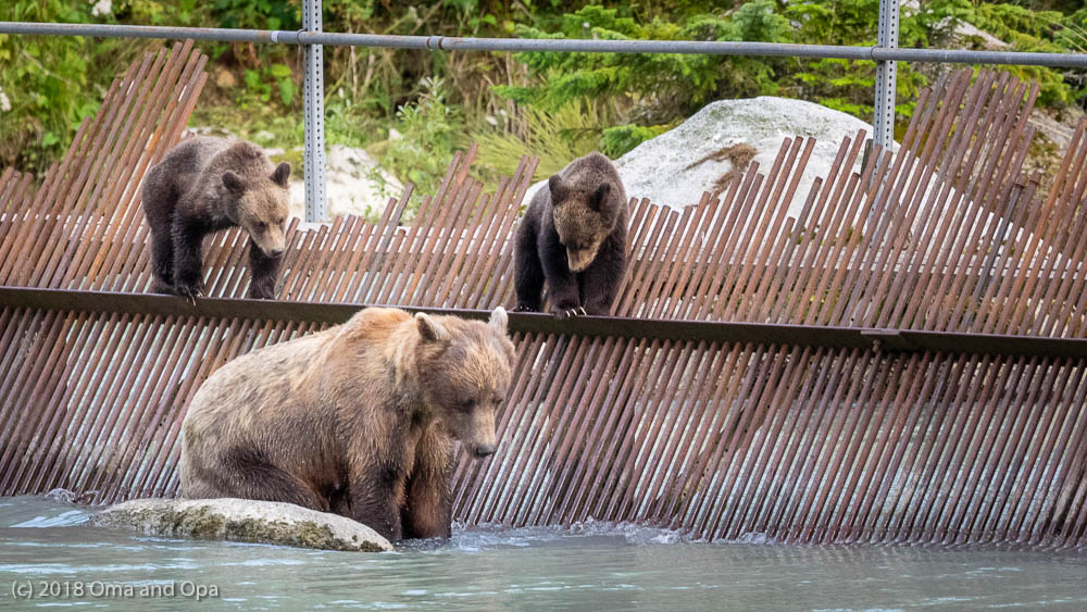 The Bears at Haines, Alaska – August 2018